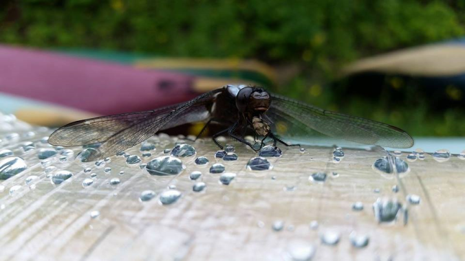 dragonfly-eating-a-fly
